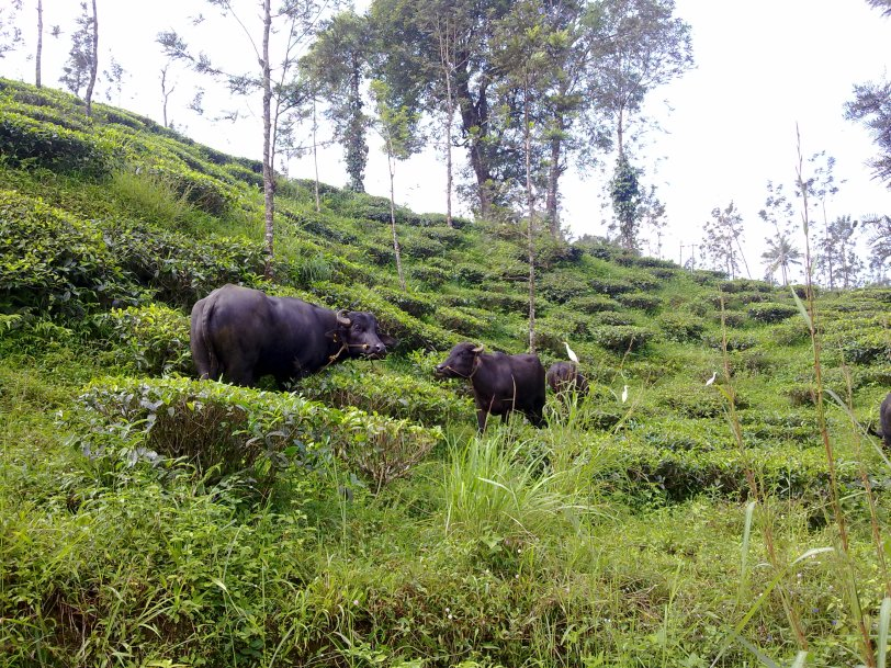 Buffaloes, Wayanad,  Kerala, India