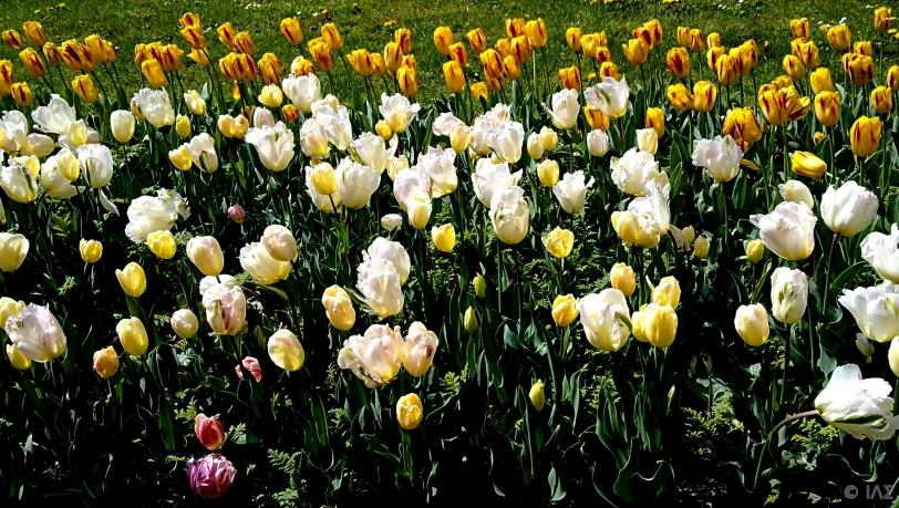 Tulips, Parc de Montjuzet, Clermont Ferrand, France